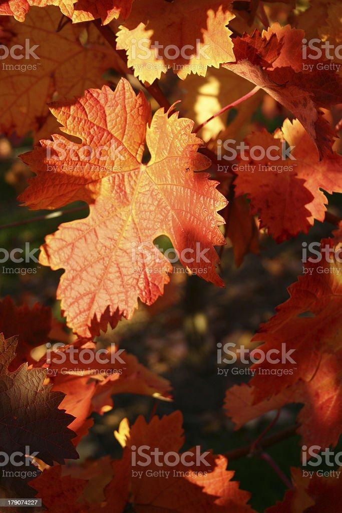 Vine leaves royalty-free stock photo