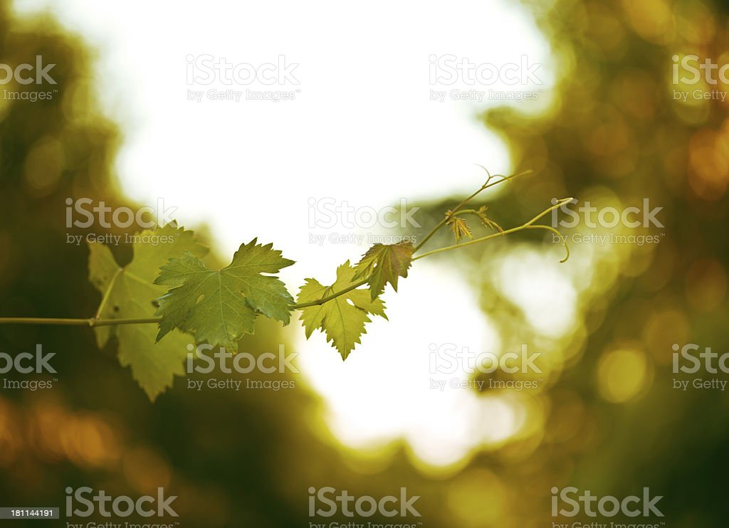 vine leaves royalty-free stock photo