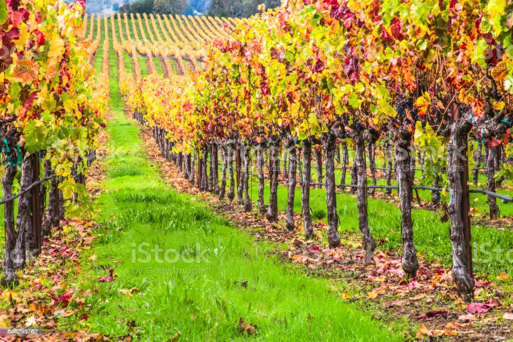 vineyard view on a rainy and golden sunrise on the California Winery...