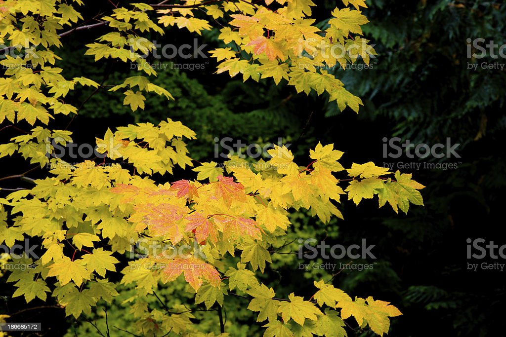 Vine maple leaves changing color in Autumn royalty-free stock photo