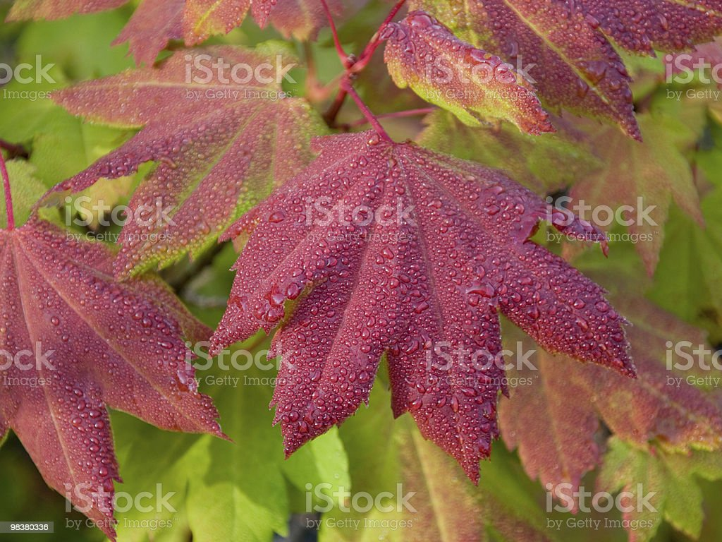 Vine Maple with morning dew and green background leaves royalty-free stock photo