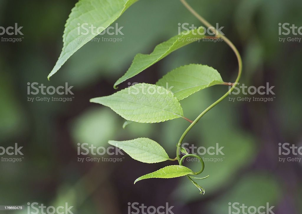 Vine of Catmint royalty-free stock photo