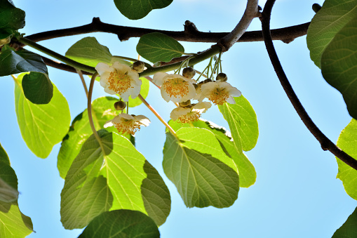 Kiwi fruit vine with white flowers in the garden on a sunny spring day and blue sky in the background