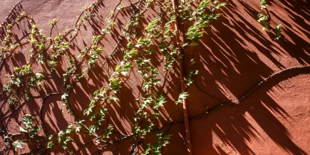 kletterpflanze - havadi-nagy stock-fotos und bilder