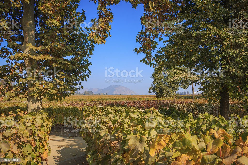 Vine stock photo