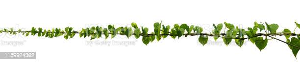 Vine plant climbing isolated on white background clipping path picture id1159924362?b=1&k=6&m=1159924362&s=612x612&h=eqe1skuldux6f3y2cxztecyuhx7ngllkwptlqigtnws=