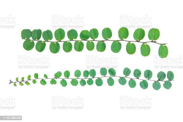 Vine plant climbing isolated on white background with clipping path picture id1140766150?b=1&k=6&m=1140766150&s=612x612&h=k68qe8bg3s3smvnidspsijsrwp05ztreqdqbloe qe4=