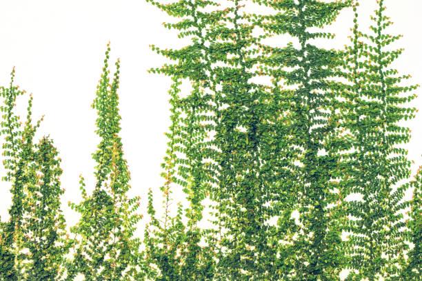 Rebe Pflanze auf weißen Wand Klettern. – Foto