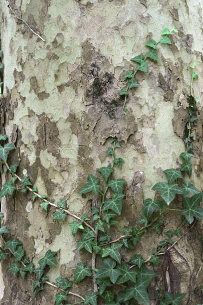 planta de vid en el tronco de los árboles - foto de stock