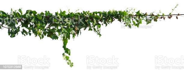 Vine plant isolated on white background clipping path picture id1070312588?b=1&k=6&m=1070312588&s=612x612&h=mpqs9r6buwbs8i6gbrk3ljuy3ivzcb3co83lzc63roe=