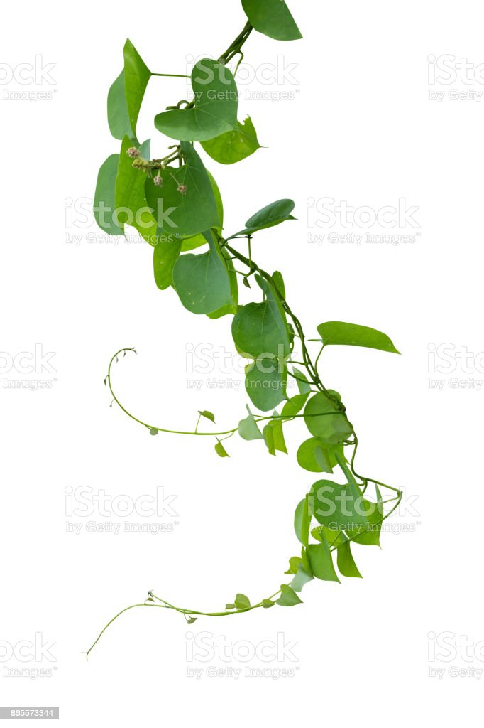 vine plant isolated on white background. Clipping path stock photo