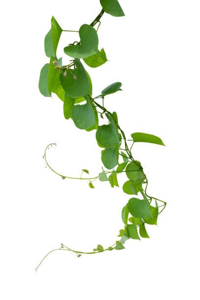 vinstockar växt isoleras på vit bakgrund. urklippsbana - slingerväxt bildbanksfoton och bilder