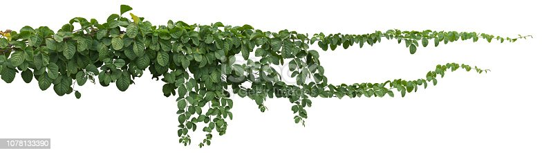 istock vine plant jungle, climbing isolated on white background. Clipping path 1078133390