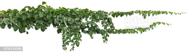Vine plant jungle climbing isolated on white background clipping path picture id1078133390?b=1&k=6&m=1078133390&s=612x612&h=phtwzrwjyfr9paclu8vckzwbjhbwwsnvj5xcvmyoixc=