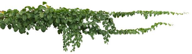 vinstockar växt djungeln, klättring isolerade på vit bakgrund. urklippsbana - murgröna bildbanksfoton och bilder