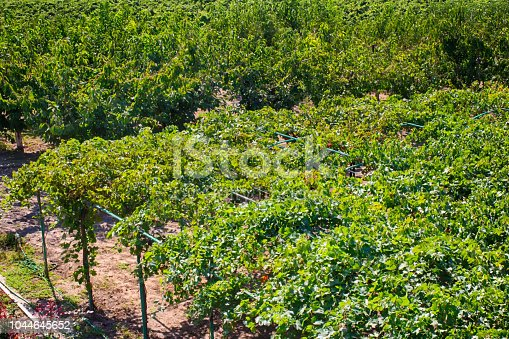 619246768 istock photo Vine plantation, the cultivation of grapes. Winery. Harvest. 1044645652