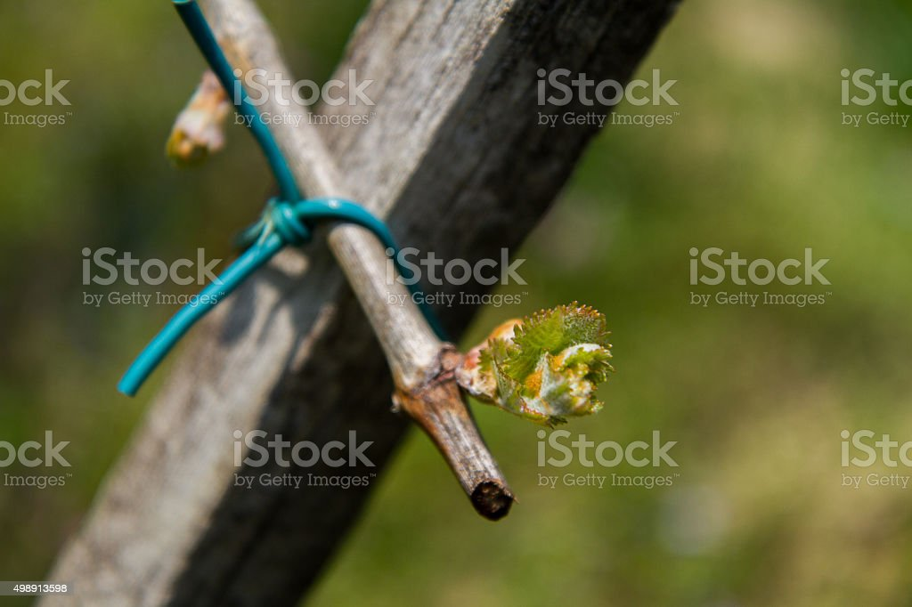 Vine Shoot Close-up stock photo