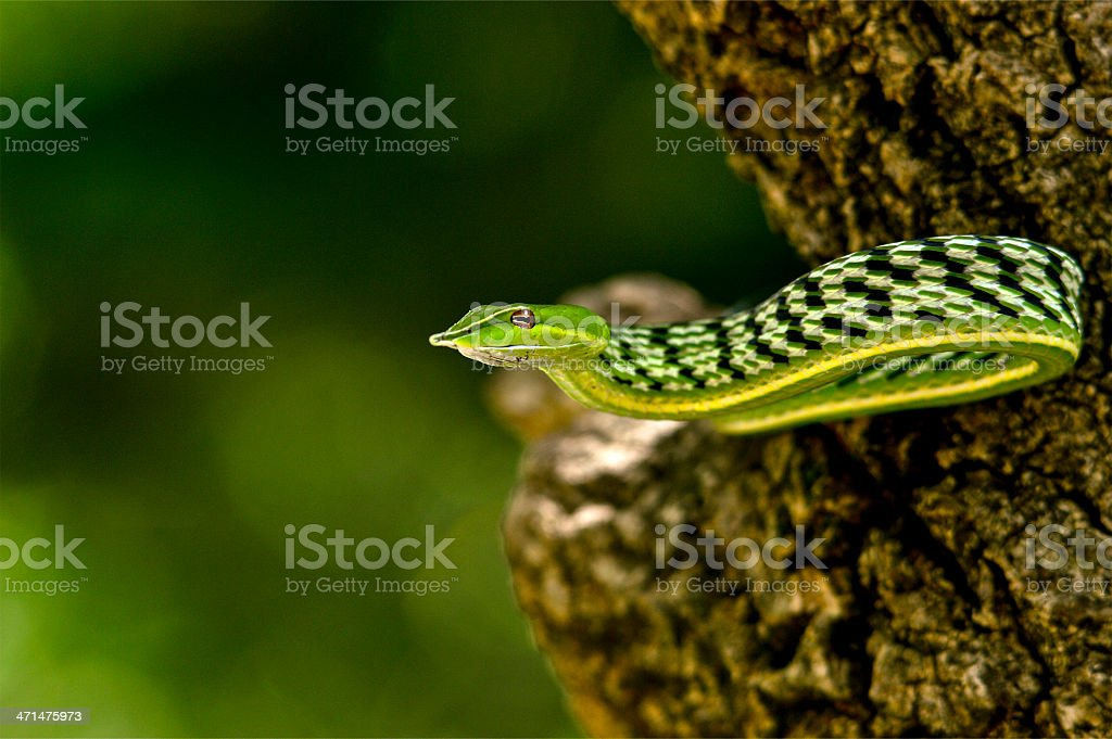 vine snake stock photo