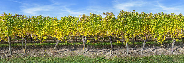 vine stocks panorama - robert weinberg stock-fotos und bilder