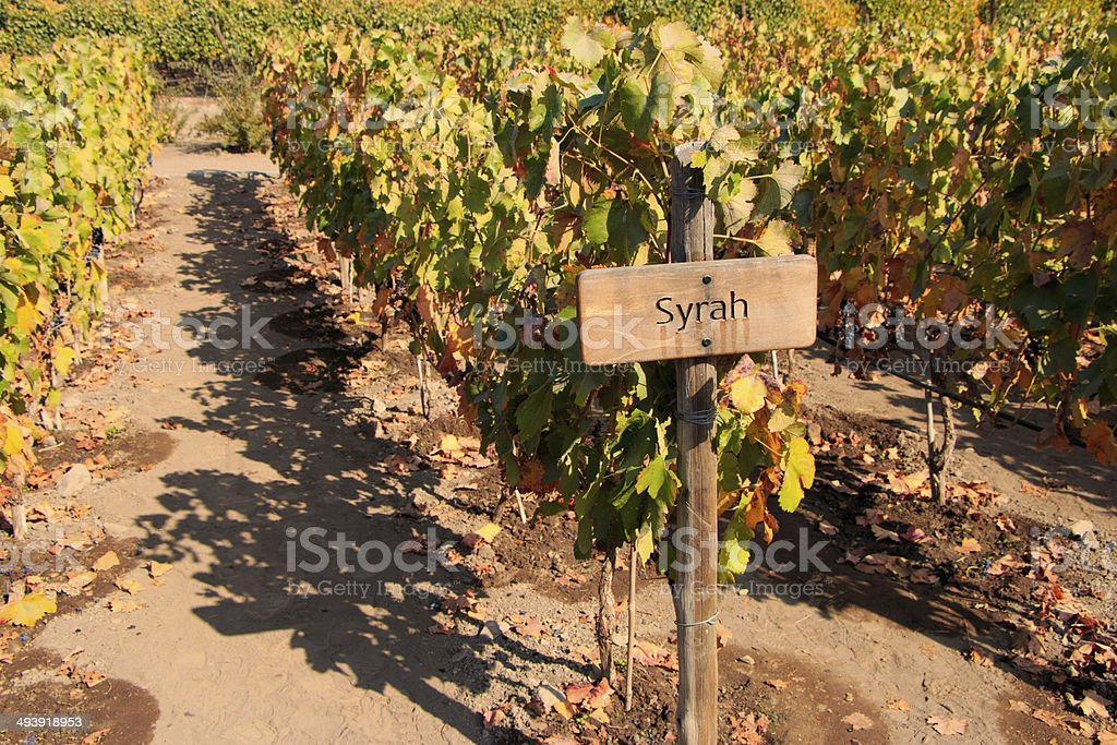 Vine - Syrah stock photo
