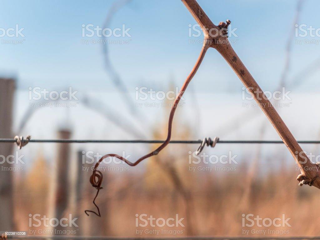 Zarcillos de vid - foto de stock