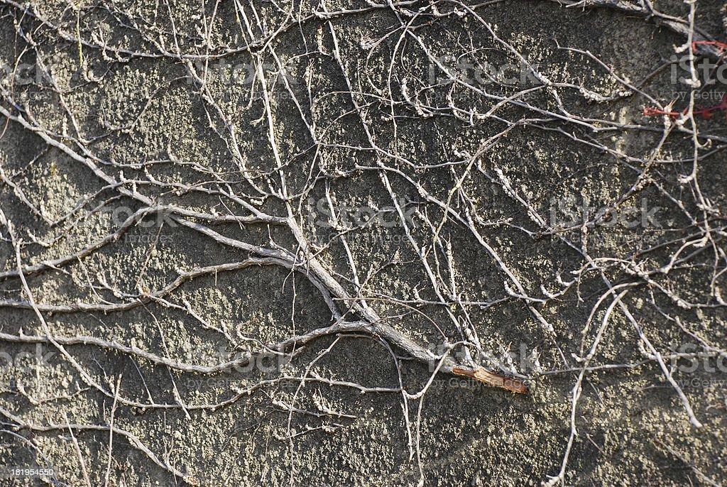 vine texture royalty-free stock photo