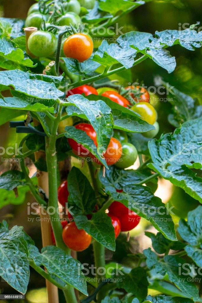 Vine tomatoes in the garden or at home zbiór zdjęć royalty-free
