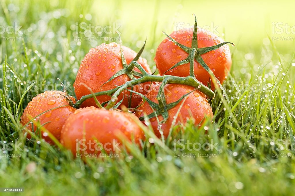 Vine tomatoes royalty-free stock photo