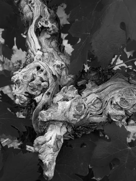 Vine trunk and lush leaves details- abstract mood- monochrome stock photo