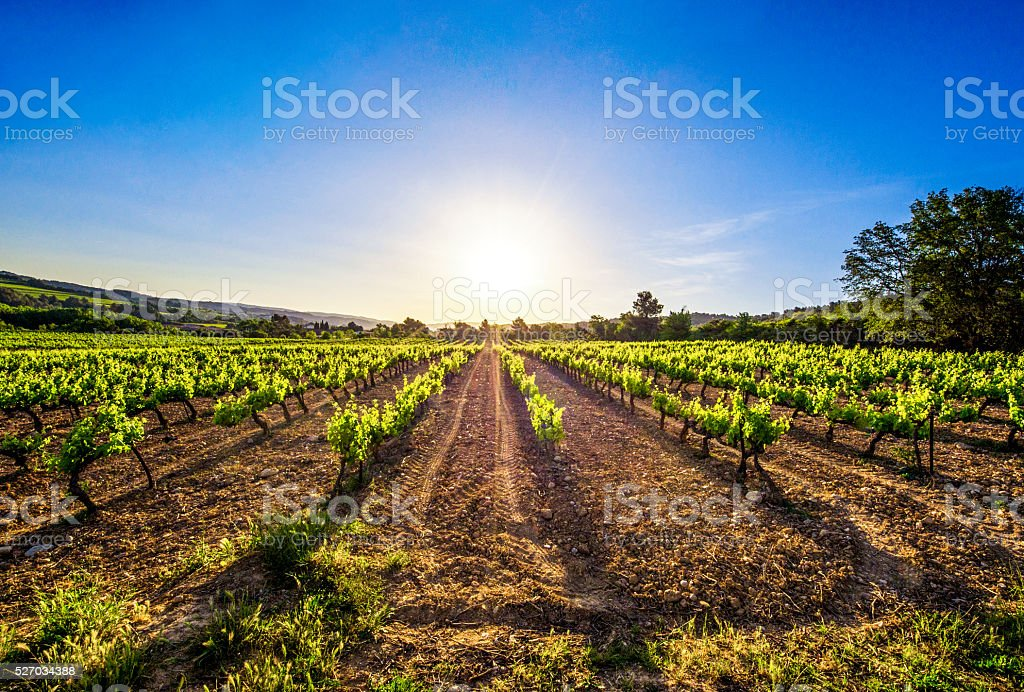 vine vineyard sun sunrise row morning ray light flare wide stock photo