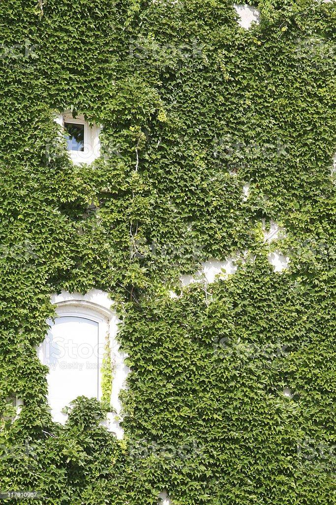 Vine Wall royalty-free stock photo