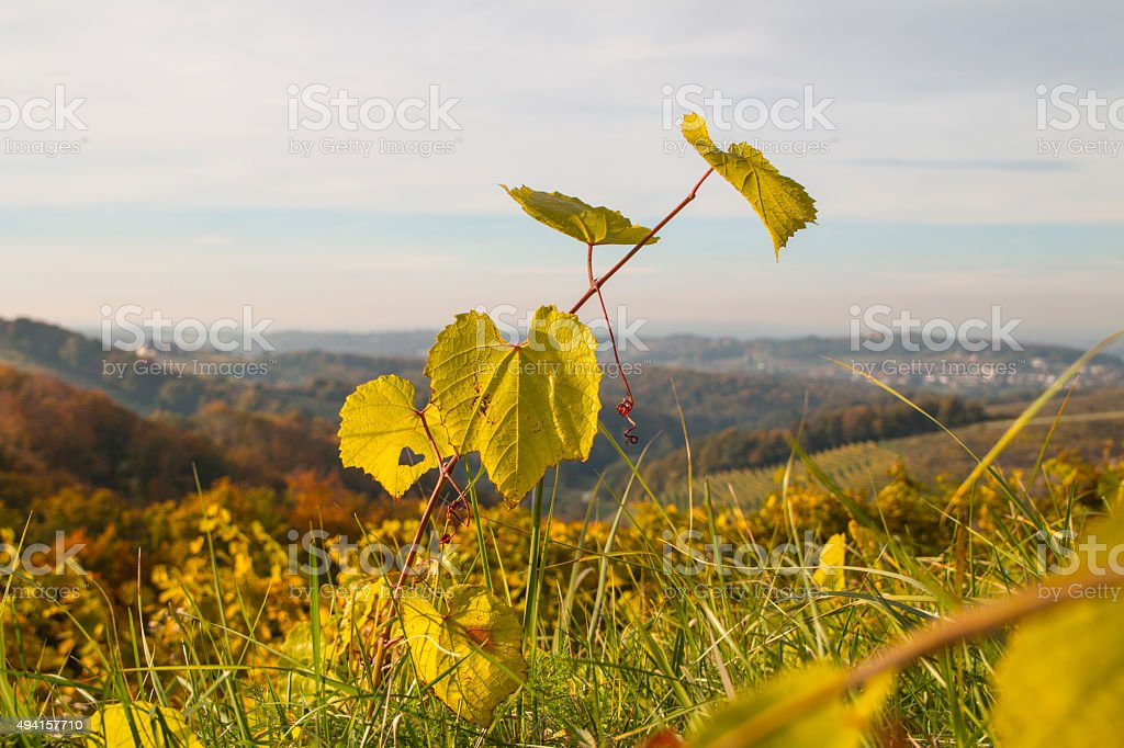 Vine with landscape in backgrounds stock photo
