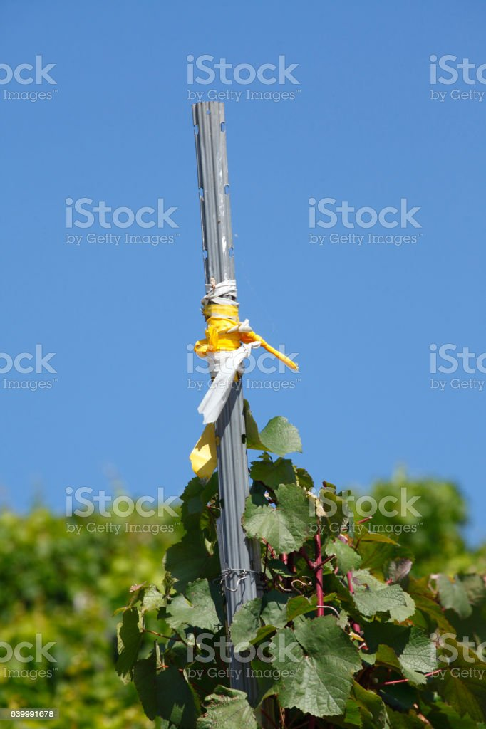 Weinstock mit Stange stock photo