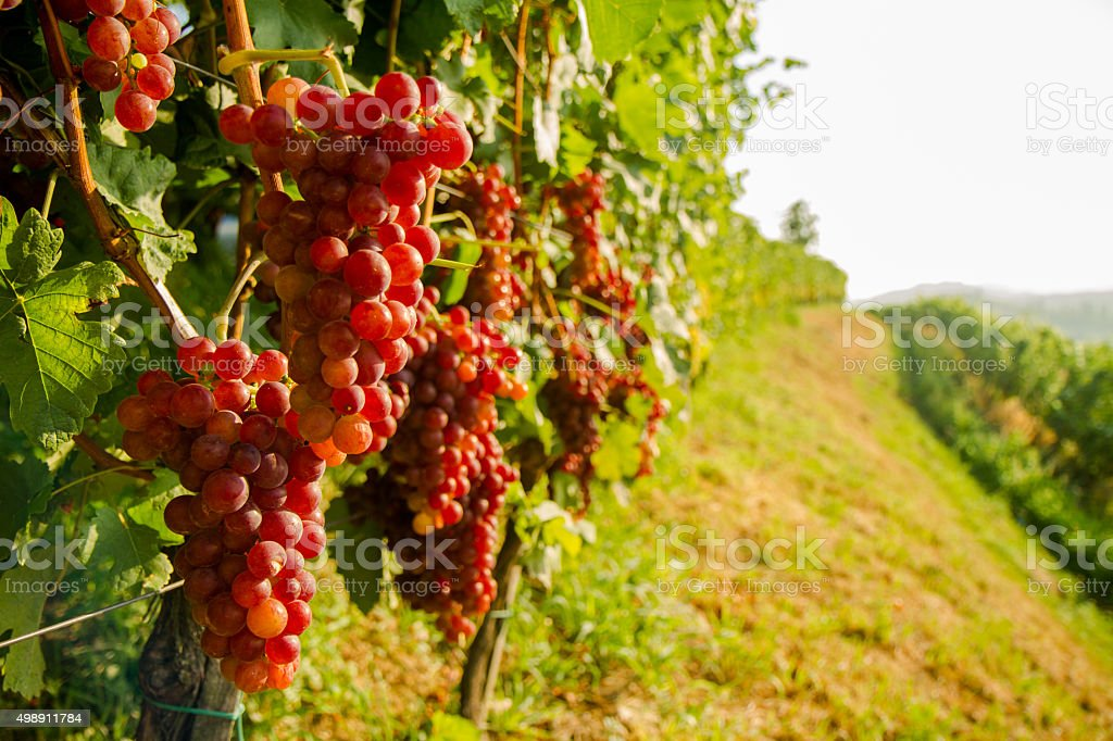 Vine With Red Grapes stock photo