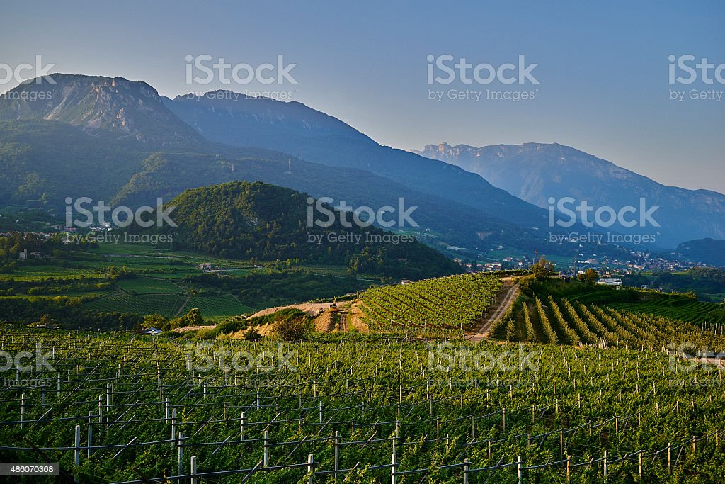Vine yard stock photo
