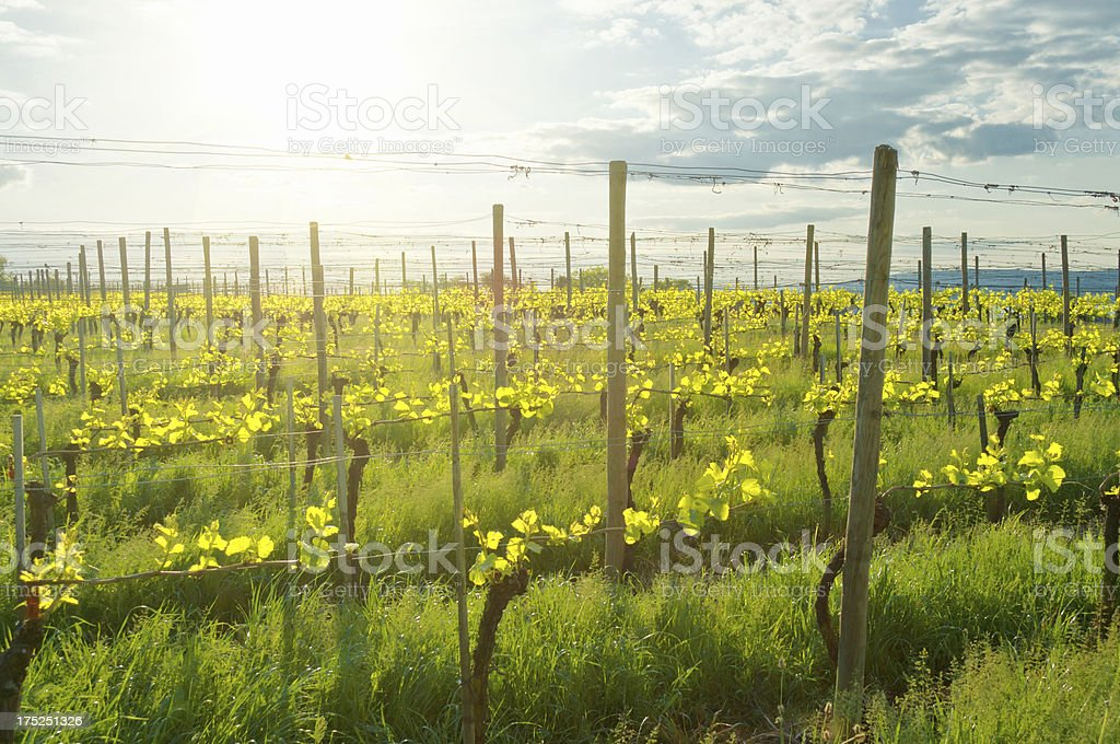 Vine yard with young plants in may stock photo