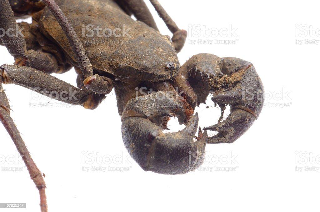 vinegaroon scorpion stock photo