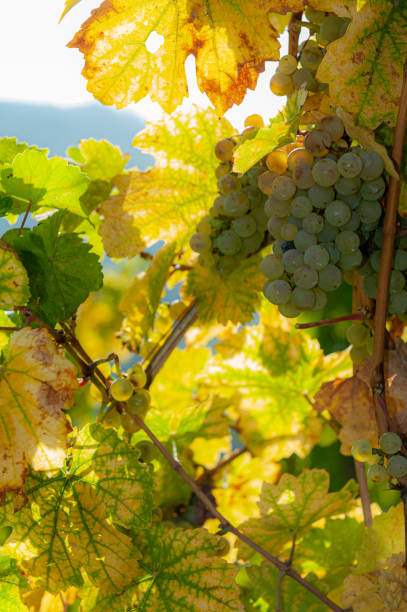 vinegrapes i en vingård - bernkastel kues höst bildbanksfoton och bilder