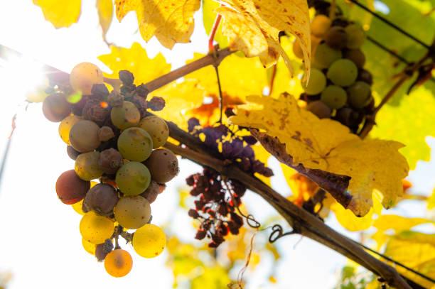 vinegrapes på hösten i motsatt ljus - bernkastel kues höst bildbanksfoton och bilder