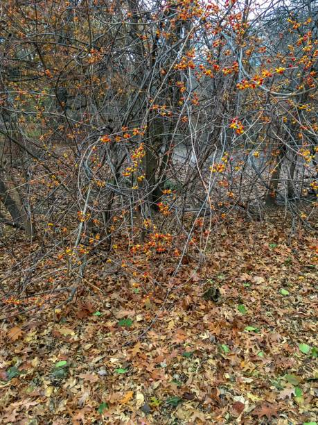 IMG_6052 Vines and autumn leaves in New England stock photo