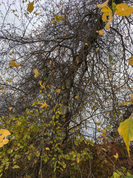 IMG_8690 Vines and leaves in wooded area in autumn stock photo