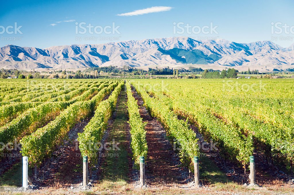 Vines and Mountains in New Zealand stock photo
