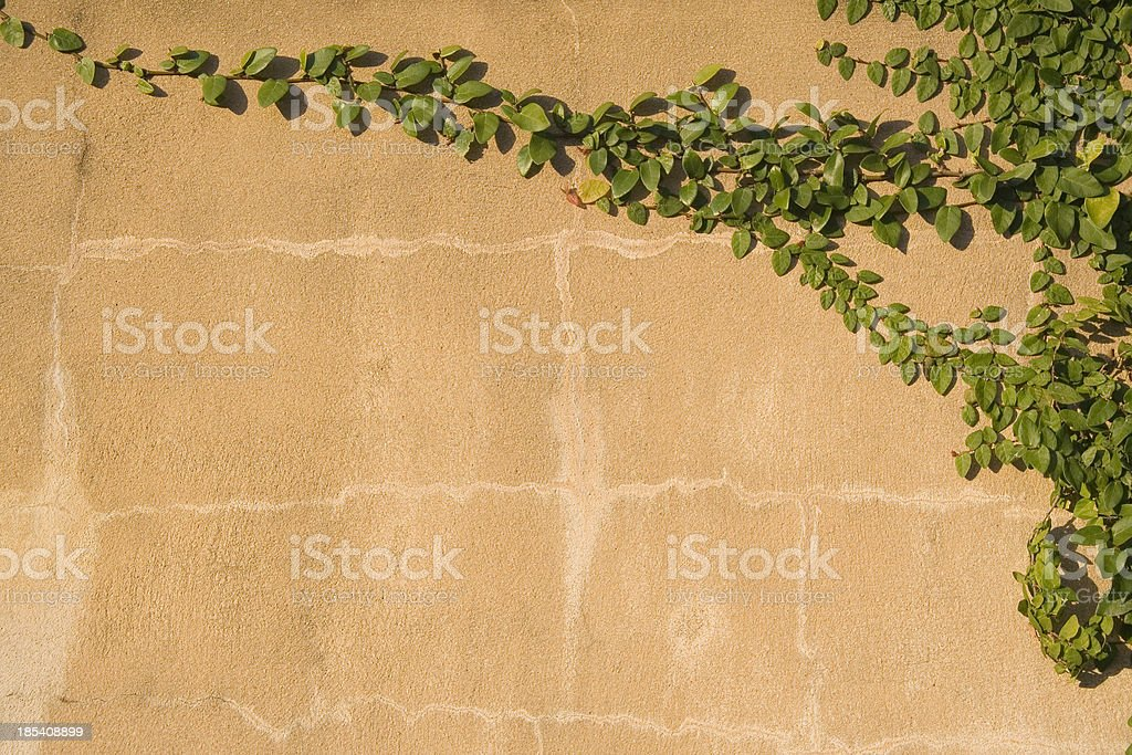 Vines climbing up a wall royalty-free stock photo