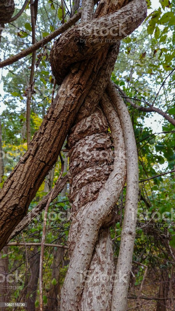 Vines Curled Around Tree Branch - Royalty-free Curled Up Stock Photo