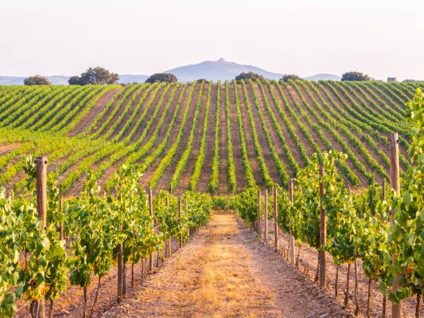 vinstockar i en vingård i alentejo-regionen, portugal, vid solnedgången - vineyard bildbanksfoton och bilder