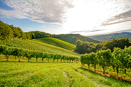 Vines in a vineyard in autumn, Wine grapes before harvest
