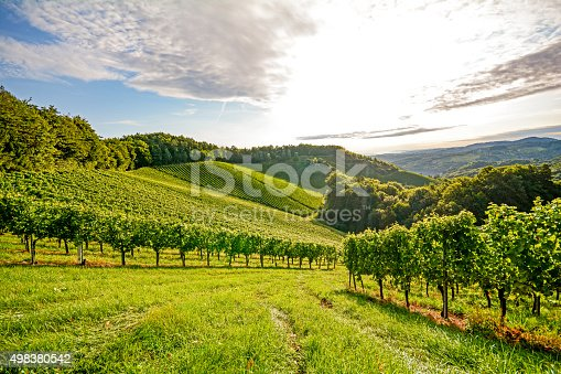 Vines in a vineyard in autumn - Wine grapes before harvest