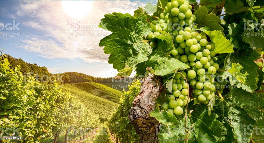 Reben im Weinberg in der Nähe von einem Weingut in der Abendsonne Weißweintrauben vor der Ernte – Foto