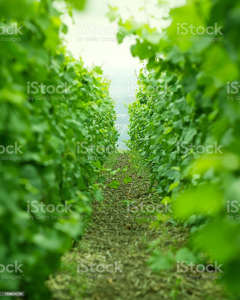 Vines in Champagne. royalty-free stock photo
