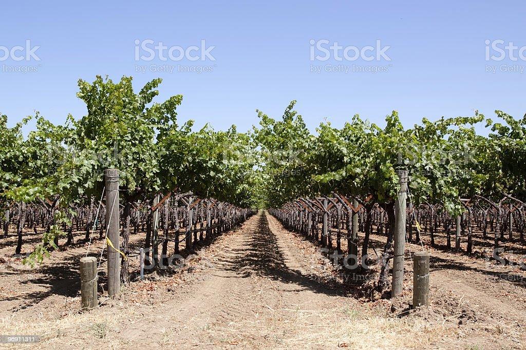 Vines in Napa Valley vineyard royalty-free stock photo